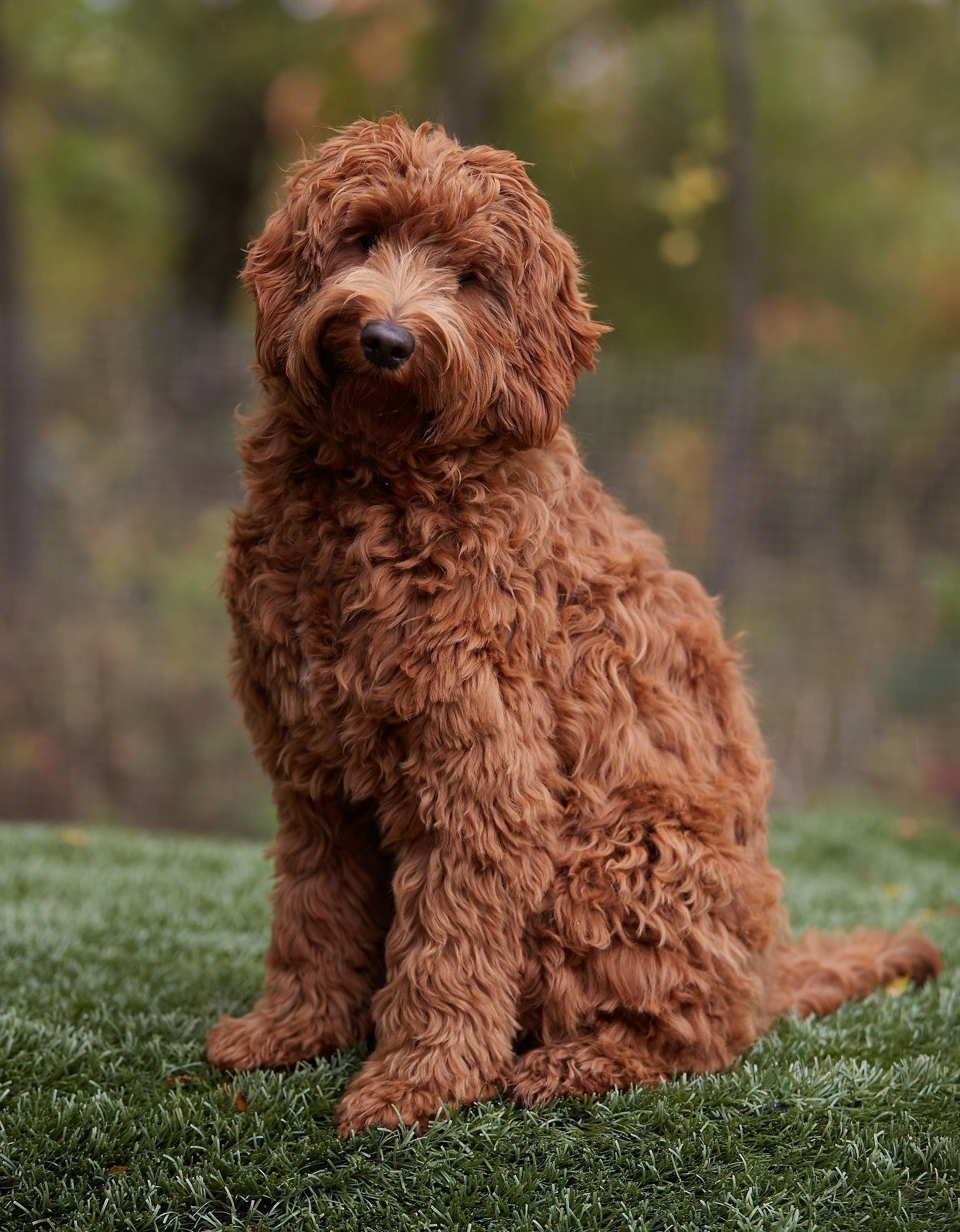 Labradoodle red