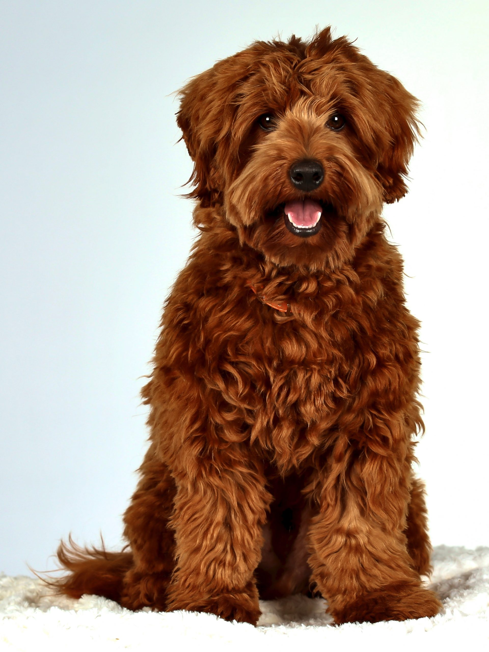 Red mini Labradoodle